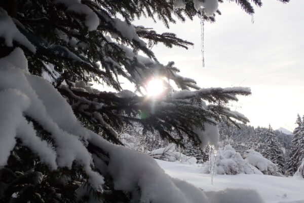 ijspegel op met sneeuw bedekte boom in de winter